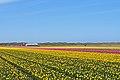 De Cocksdorp tulip fields 4.jpg