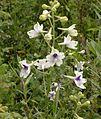 Delphinium pavonaceum.jpg