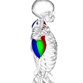 Deltoid muscle lateral6.png
