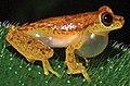 Dendropsophus haddadi IRDias2014 (cropped).jpg