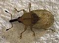 Derelomus sp. (alive).jpg