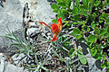 Desert paintbrush flower.jpg