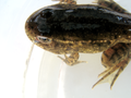 Developing frog (5885626993).png