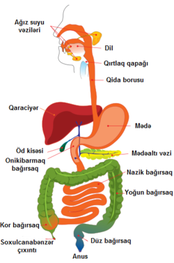 Digestive system simplified az.png
