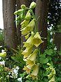 Digitalis grandiflora Orchi 04.jpg