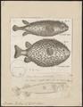 Diodon hystrix - 1700-1880 - Print - Iconographia Zoologica - Special Collections University of Amsterdam - UBA01 IZ15400193.tif