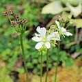 Dionaea muscipula-IMG 0251.jpg