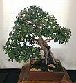 Diospyros whyteana - cape ebony bonsai - Cape Town 5.jpg