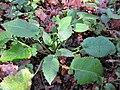 Dipsacus pilosus plant (05).jpg