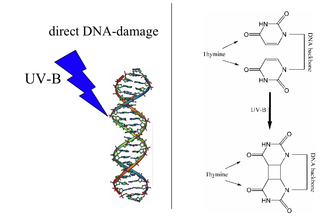 Direct DNA damage - Direct DNA damage: The UV-photon is directly absorbed by the DNA (left). One of the possible reactions from the excited state is the formation of a thymine-thymine cyclobutane dimer (right). The direct DNA damage leads to sunburn, causing an increase in melanin production, thereby leading to a long-lasting tan.