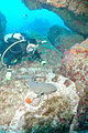 Diver and Nurse Shark in cave, Monito Island, Puerto Rico.jpg