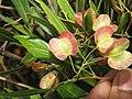 Dodonaea viscosa - Hop Bush at Chandragiri hills Shravanabelagola (6).jpg