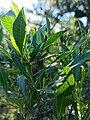 Dodonaea viscosa - Leaves.jpg