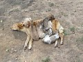 Dog and pups - Begur - Butterfly Survey - Wayanad 06.jpg