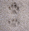 Domestic cat footprints.jpg