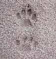 Domestic cat footprints.jpg