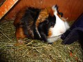 Domesticated guinea pigs 8.jpg