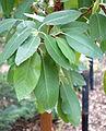 Drimys winteri - McConnell Arboretum & Botanical Gardens - DSC02995.JPG