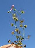 Drosera peltata plant3 (15220030128).jpg