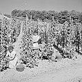 Druivenpluksters aan het werk, Bestanddeelnr 254-4152.jpg