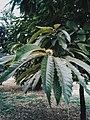 Drveće u parku Svetog Save u Nišu (3).jpg
