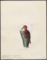 Dryocopus haematogaster - 1820-1860 - Print - Iconographia Zoologica - Special Collections University of Amsterdam - UBA01 IZ18700161.tif