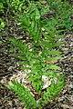 Dryopteris clintoniana - Jenkins Arboretum - DSC00641 (cropped).JPG