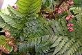 Dryopteris erythrosora 2zz.jpg