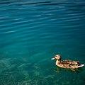 Duck (4785379829).jpg