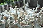 Duck farm in Can Tho (14243129645).jpg
