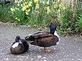 Ducks, Kingussie - geograph.org.uk - 1287227.jpg