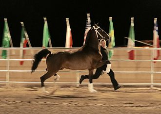 Dutch Harness Horse - Dutch Harness stallion shod for in-hand exhibition in the United States