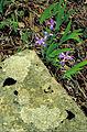 Dwarf crested iris iris cristata purple flower.jpg