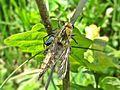 Dysmachus trigonus (Asilidae sp.) female, Molenhoek, the Netherlands - 2.jpg