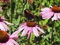 Echinacea purpurea-IMG 5672.jpg