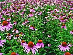 Echinacea purpurea 001.JPG
