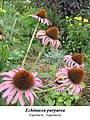 Echinacea purpurea 1.jpg