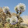 Echinops spinosissimus - Santorini - Greece - 04.jpg