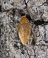 Ectobius pallidus MHNT dos.jpg