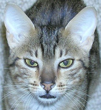 """Egyptian Mau - This Mau has the """"M"""" marking on his/her forehead"""