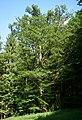 Eiche Großer Rossberg 2622.jpg