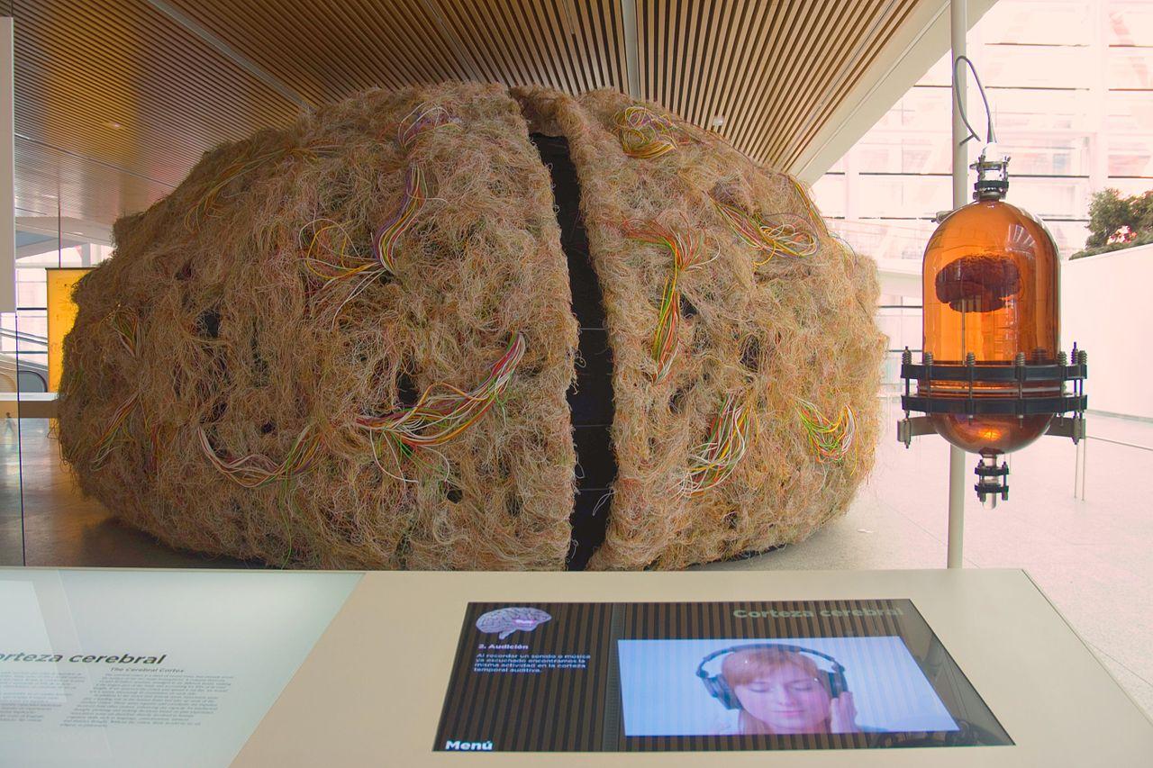 File:El cerebro humano.Museo de la Evolución Humana.Burgos (4977100488).jpg -...