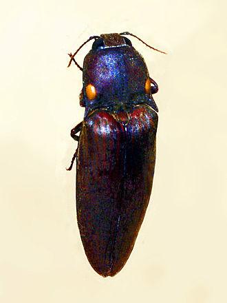 Pyrophorus noctilucus - Pyrophorus noctilucus from Argentina. Mounted specimen