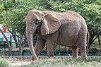 Elefante en Parque Zoologico Barquisimeto 2.jpg
