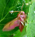 Elephant Hawkmoth. Deilephila elpenor - Flickr - gailhampshire (2).jpg