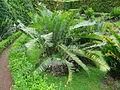 Encephalartos manikensis furnas 2015 (04).jpg