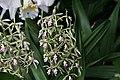 Epidendrum prismatocarpum 0zz.jpg