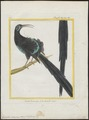 Epimachus maximus - 1700-1880 - Print - Iconographia Zoologica - Special Collections University of Amsterdam - UBA01 IZ16100073.tif