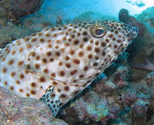 Greasy grouper - Image: Epinephilus tauvina Safaga