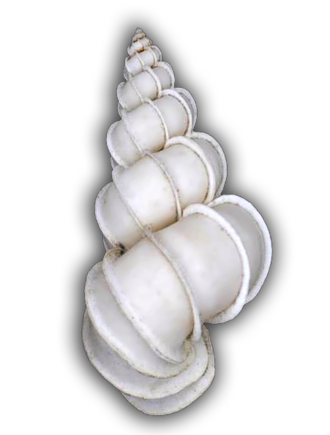 Spiral tower shell of Epitonium scalare. Epitonium-scalare--Trp-6.png